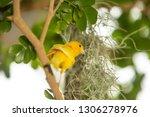 yellow finch gathering spanish... | Shutterstock . vector #1306278976