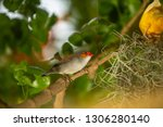 orange faced finch sitting on a ... | Shutterstock . vector #1306280140