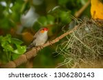 orange faced finch sitting on a ... | Shutterstock . vector #1306280143