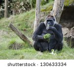 Female Western Gorilla Eating