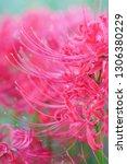flower of cluster amaryllis | Shutterstock . vector #1306380229