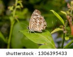 Speckled Line Blue Butterfly  ...