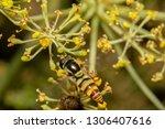 hover fly  flower fly  or... | Shutterstock . vector #1306407616