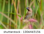scaly breasted munia  nutmeg... | Shutterstock . vector #1306465156