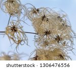fluffy clematis seed detail at... | Shutterstock . vector #1306476556