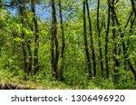 springtime  forest in the lozen ... | Shutterstock . vector #1306496920