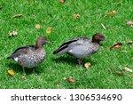 australian wood duck aka maned... | Shutterstock . vector #1306534690