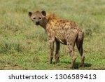 curious adult hyena | Shutterstock . vector #1306589413
