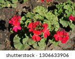 bright red flowers of zonal... | Shutterstock . vector #1306633906