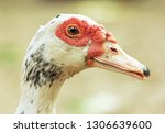 Close Up Muscovy Duck's Face.