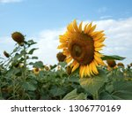 blooming bright sunflower close ... | Shutterstock . vector #1306770169