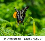 Swallowtail Butterfly On A...
