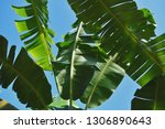 green leaves of banana palm... | Shutterstock . vector #1306890643
