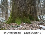 old oak and spruce tree against ... | Shutterstock . vector #1306900543