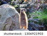 suricata suricatta watchful... | Shutterstock . vector #1306921903