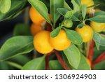 ripe orange fruit hangs on the...   Shutterstock . vector #1306924903
