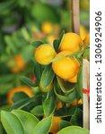 ripe orange fruit hangs on the...   Shutterstock . vector #1306924906