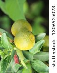 ripe orange fruit hangs on the...   Shutterstock . vector #1306925023