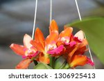 orchid flower in garden   Shutterstock . vector #1306925413