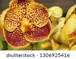 orchid flower in garden   Shutterstock . vector #1306925416