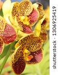 orchid flower in garden   Shutterstock . vector #1306925419