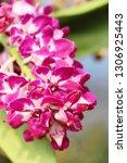 orchid flower in garden   Shutterstock . vector #1306925443
