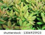 beautiful stone rose flowers    Shutterstock . vector #1306925923