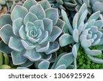 beautiful stone rose flowers    Shutterstock . vector #1306925926