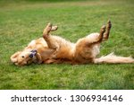 Small photo of Side view on a goofy golden retriever dog rolling on a green lawn, with space for text on top and bottom
