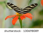 Heliconius Charithonia Zebra Longwing - Fine Art prints