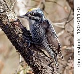 Small photo of American Three-toed Woodpecker