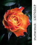 Orange And Red Rose Flower With ...