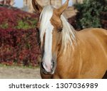 cream horse with a long white... | Shutterstock . vector #1307036989