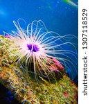 sea anemone  tube anemone  copy ... | Shutterstock . vector #1307118529