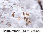 birch earrings covered by fresh ... | Shutterstock . vector #1307134066