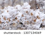 birch earrings covered by fresh ... | Shutterstock . vector #1307134069
