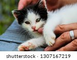 Stock photo  small black and white kitten man hand is hugging a kitten the kitten looks into the camera 1307167219