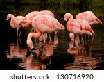 Chilean Flamingos Feeding