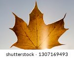 yellowed foliage of deciduous... | Shutterstock . vector #1307169493