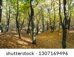beautiful deciduous trees in... | Shutterstock . vector #1307169496