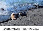 baby seal nursing on the rocks   Shutterstock . vector #1307239369