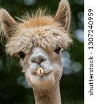 A Lovely And Funny Llama Head...