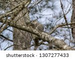 Delmarva Fox Squirrel  Sciurus...