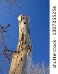 Small photo of old knotty tree with a blue sky background