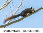 thai common squirrel perching... | Shutterstock . vector #1307370283