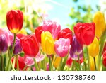 Fresh Colorful Tulips In Warm...