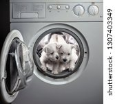 Stock photo two west hound terrier puppies are washed with bleach in the washing machine 1307403349