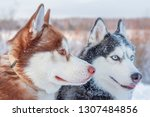dogs on winter walk with snow... | Shutterstock . vector #1307484856