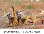 the meerkat or suricate ... | Shutterstock . vector #1307507506
