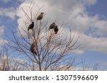 a group of european starling ... | Shutterstock . vector #1307596609